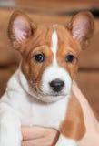 不咆哮的小狗非洲狗品种basenji 图库摄影