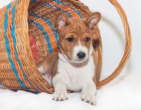 不咆哮的小狗非洲狗品种basenji 库存图片