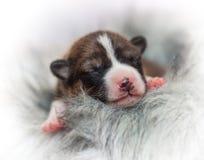 不咆哮的小狗非洲狗品种basenji 免版税库存图片