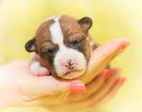 不咆哮的小狗非洲狗品种basenji 免版税图库摄影