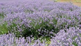 不尽的开花的淡紫色花 影视素材
