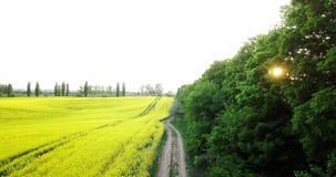 不尽的油菜籽领域fron俯视图 域强奸 黄色油菜籽领域和蓝天与云彩在晴朗 股票视频