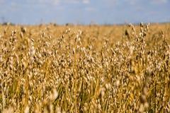 不尽的燕麦粥领域和蓝天 库存图片