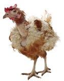 不快乐的母鸡 库存照片