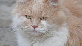 不快乐的罪恶布朗蓬松漫步的猫画象是冷的外部 影视素材