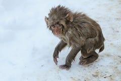 不快乐的婴孩雪猴子 免版税库存图片