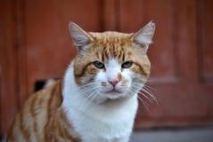 不悦的猫 库存照片