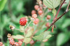 不成熟狂放的黑莓 免版税库存照片