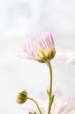 不是一朵开花的雏菊 免版税库存图片