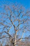 不生叶大的树 库存图片