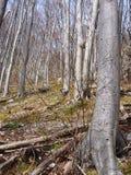 不生叶的山毛榉的木材在春天 免版税图库摄影