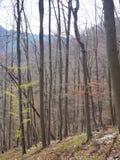 不生叶的山毛榉的木材在春天 库存图片