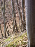 不生叶的山毛榉的木材在春天 免版税库存图片