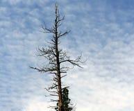不生叶的松树 免版税库存照片