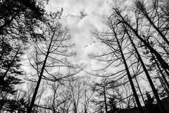 不生叶的树剪影  库存照片