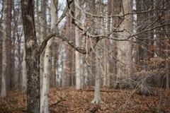 不生叶的树和分支在被迷惑的森林里在冬天 库存照片