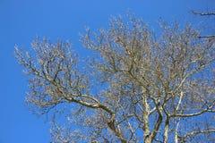 不生叶的树春天 免版税库存图片