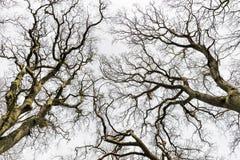 不生叶的树梢 免版税库存照片