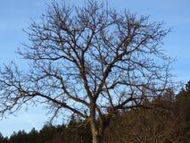不生叶的结构树 冷天天气预报 库存图片
