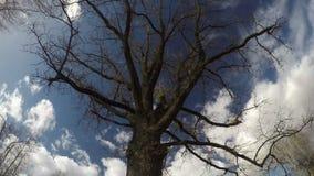 不生叶的老橡木和天空白色云彩行动,时间间隔 股票录像