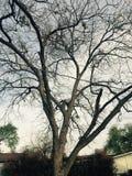 不生叶的结构树 图库摄影