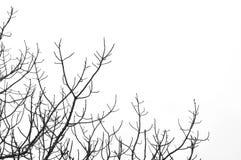 不生叶结构树 库存图片