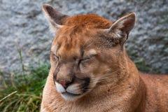 不确实美洲狮美洲狮 免版税图库摄影
