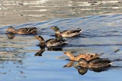 不肯定野鸭的鸭子,如果头应该被阻止或下来 库存照片