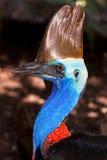 不能飞行澳大利亚鸟的食火鸡 免版税库存照片