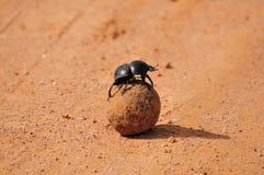 不能飞行甲虫的粪 图库摄影