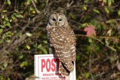 不要成熟服从狩猎标志的条纹猫头鹰 免版税库存图片