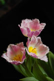 不计其数的桃红色郁金香 库存图片