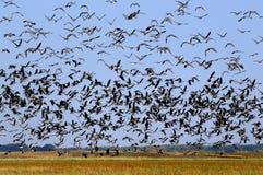 不计其数的鸟 免版税库存图片