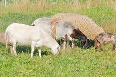 不足被剪的绵羊 免版税库存照片