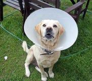 不适的拉布拉多狗在佩带一个防护锥体的庭院里 免版税图库摄影