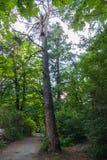 不顾绿色树和灌木的绕道路与与落对从a的地面的结的一棵常设干燥杉木 免版税库存照片