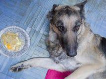 不饥饿的狗 库存图片