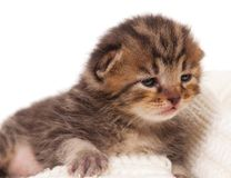 不满一月的婴儿小猫 库存图片