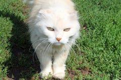 与一严肃的看起来的白色猫跨步在绿草的 库存图片