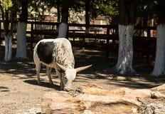 与一个交通事故多发地段的年轻公牛Watussi白色在它的旁边立场上午 免版税库存照片