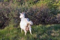 与一个充分的乳房的本国山羊在牧场地春天果树园 图库摄影