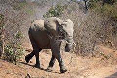 与一个分支的婴孩大象在它的嘴 免版税库存图片