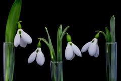 与一个创造性的概念的Snowdrop花 库存照片