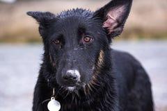 与一个含沙鼻子的紧张的狗 免版税库存图片