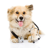 与一个听诊器的狗在他的脖子 背景查出的白色 图库摄影