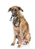 与一个听诊器的狗在他的脖子 背景查出的白色 免版税库存照片