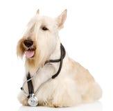 与一个听诊器的苏格兰狗在他的脖子 在whi 图库摄影