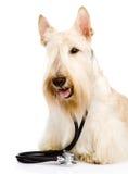 与一个听诊器的苏格兰狗在他的脖子 隔绝在whi 免版税库存图片