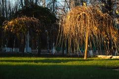 与一个啜泣的形式冠的装饰桑树在绿色草坪 延迟秋天 免版税图库摄影