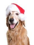 与一个圣诞老人帽子的金毛猎犬狗圣诞节的 免版税库存图片